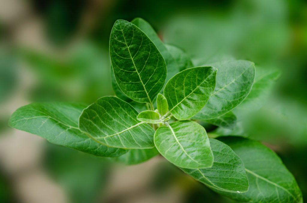 Ashvagandha plant